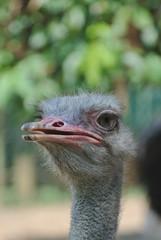 ostrich big bird in nature with close up head