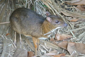 Mouse deer Chevrotain