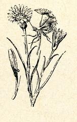 Meadow Salsify (Tragopogon pratensis)