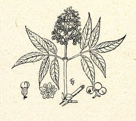 Red Elderberry.(Sambucus racemosa)