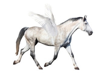 Gray horse pegasus trotting isolated on white