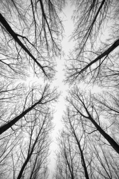 Black and white forest of trees photographed from below