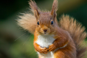 Photo sur Aluminium Squirrel Red Squirrel looking so cute