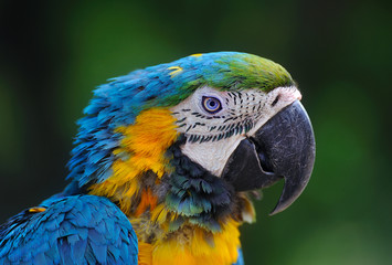 Close-up of Blue-and-Yellow Macaw, Ara ararauna