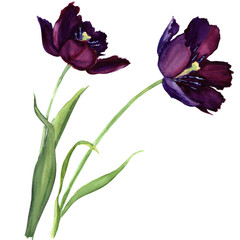 purple tulip isolated on white background