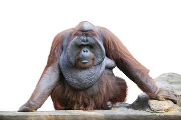 Orang utan sitting on white 1 Fotomurales