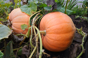Large Ripe Pumpkins on the Vine