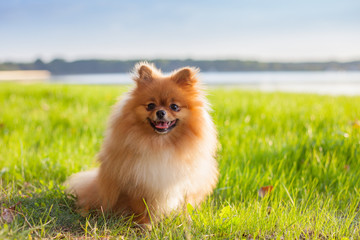 Pomeranian puppy on grass