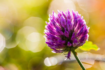 Purple clover flower with dew drops in the morning light