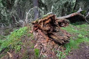 Altholz im Bergwald