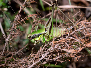Katydid cricket in undergrowth. Bright green and black.