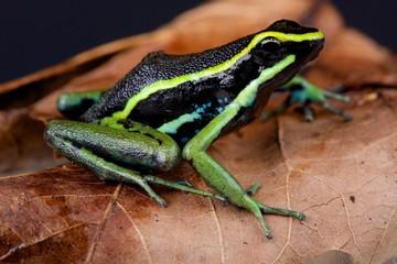 Three-striped poison arrow frog / Ameerega trivittata