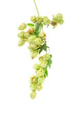hops plant twined vine