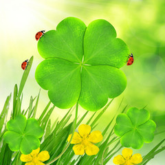 Green grass with clover leaf and ladybugs