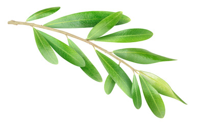 Isolated branch. Olive tree branch with green leaves isolated on white, with clipping path