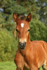 Cute brown foal portrait in summer