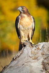 Wall Mural - Red-tailed hawk sitting on a stump