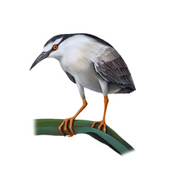 Illustartion of Night Heron bird