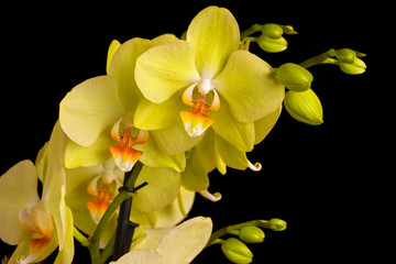 Fototapete - Beautiful orchid on dark background.