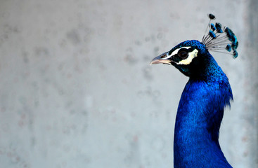 Male blue Peacock head