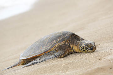 Beautiful endangered green sea turtle
