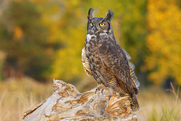 Fototapete - Great horned owl sitting on a stump