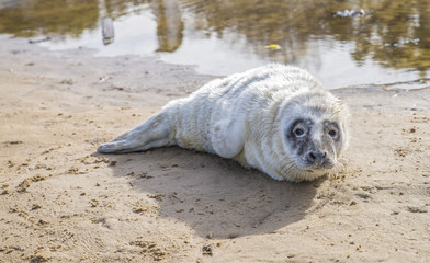 Baby seal on the beach