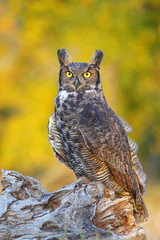 Wall Mural - Great horned owl sitting on a stump