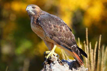 Fototapete - Red-tailed hawk sitting on a stump