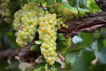 White wine grapes on old vine