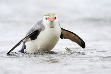 Royal Penguin (Eudyptes schlegeli) jumping out of the water