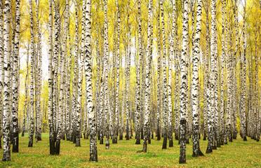 Autumn birches - fototapety na wymiar