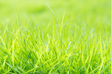 Fresh green grass with water droplet on sunshine