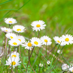 Fototapete - Gänseblümchen, Bellis perennis, Frühlingsblumen