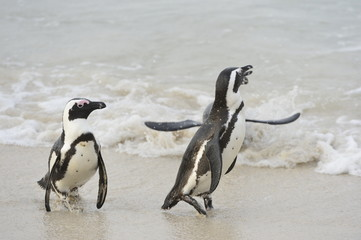 Walking African penguins