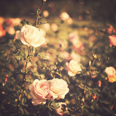 Vintage rose garden in spring