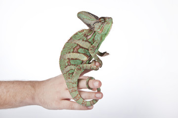 Chameleon on the hand with white background