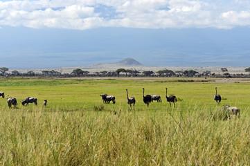 Ostriches Kilimanjaro