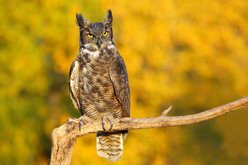 Fototapete - Great horned owl sitting on a stick