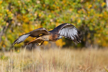 Wall Mural - Red-tailed hawk in flight