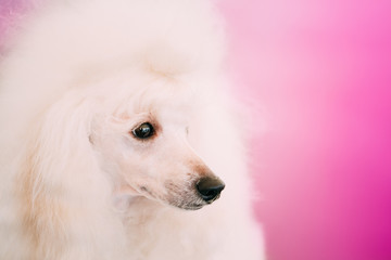 White Standard Poodle Dog Close Up Portrait