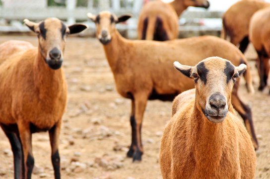 Barbado Blackbelly Sheep focusing the attention