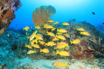 School yellow fish: Snappers