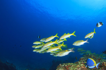 School yellow fish: Goatfish