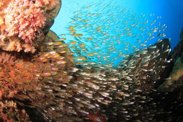 Fish School: Glassfish (Golden Sweepers)