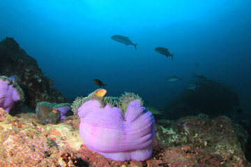 Anemone on coral reef
