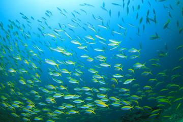 Fish school sardines