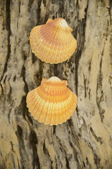 Two shell on wooden background