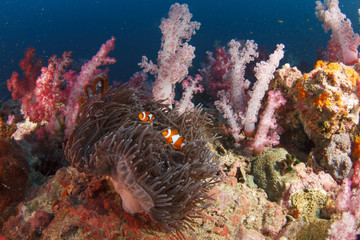 Anemone and clownfish in coral reef