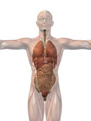 Human anatomy body organs